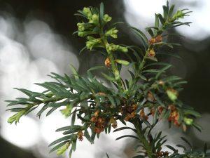 Yew Leaf