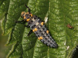 7 Spot Ladybird Larvae2