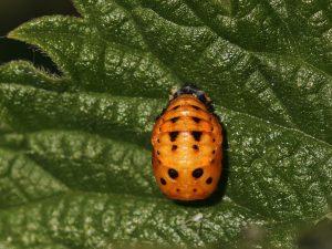 7 Spot Ladybird Pupa2