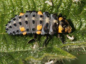 7 spot ladybird larva 3