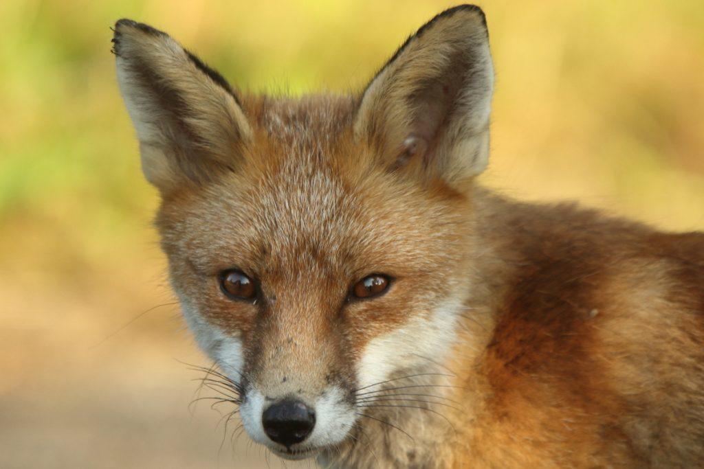 Fox Ears2