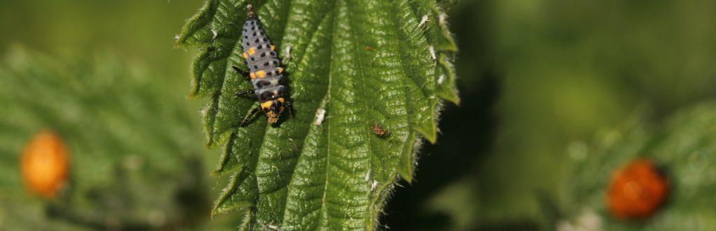Ladybird Lifecycle