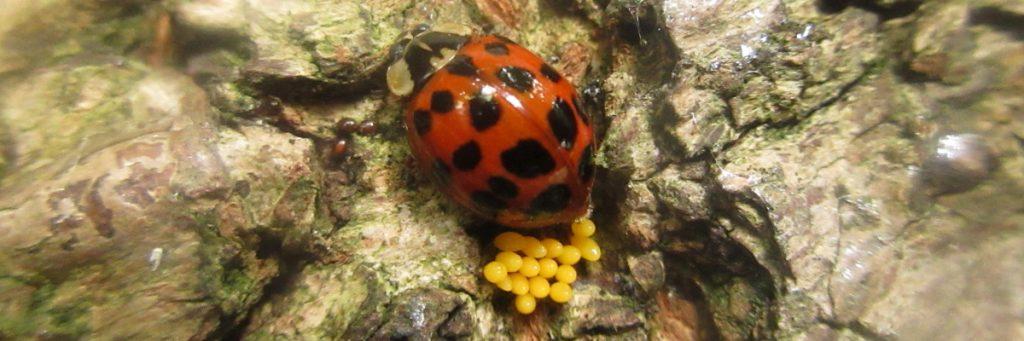 Ladybird laying eggs