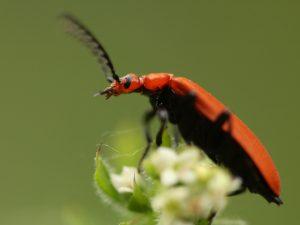 Cardinal Beetle Side