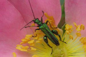 TL Beetle